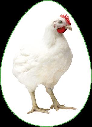 el mejor pollo de engorde