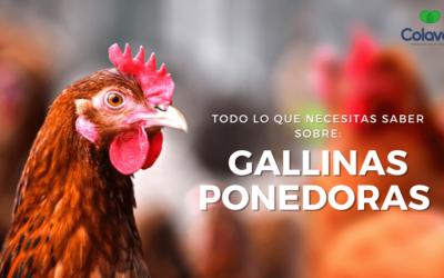 ➤ Gallinas Ponedoras | Todo sobre Crianza, Alimentación y Manejo de tus Genéticas Ponedoras