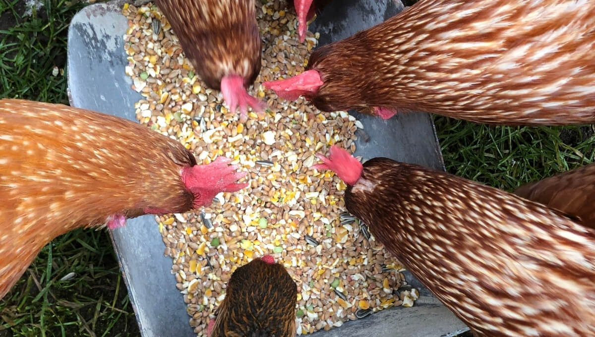 alimento para gallina ponedora