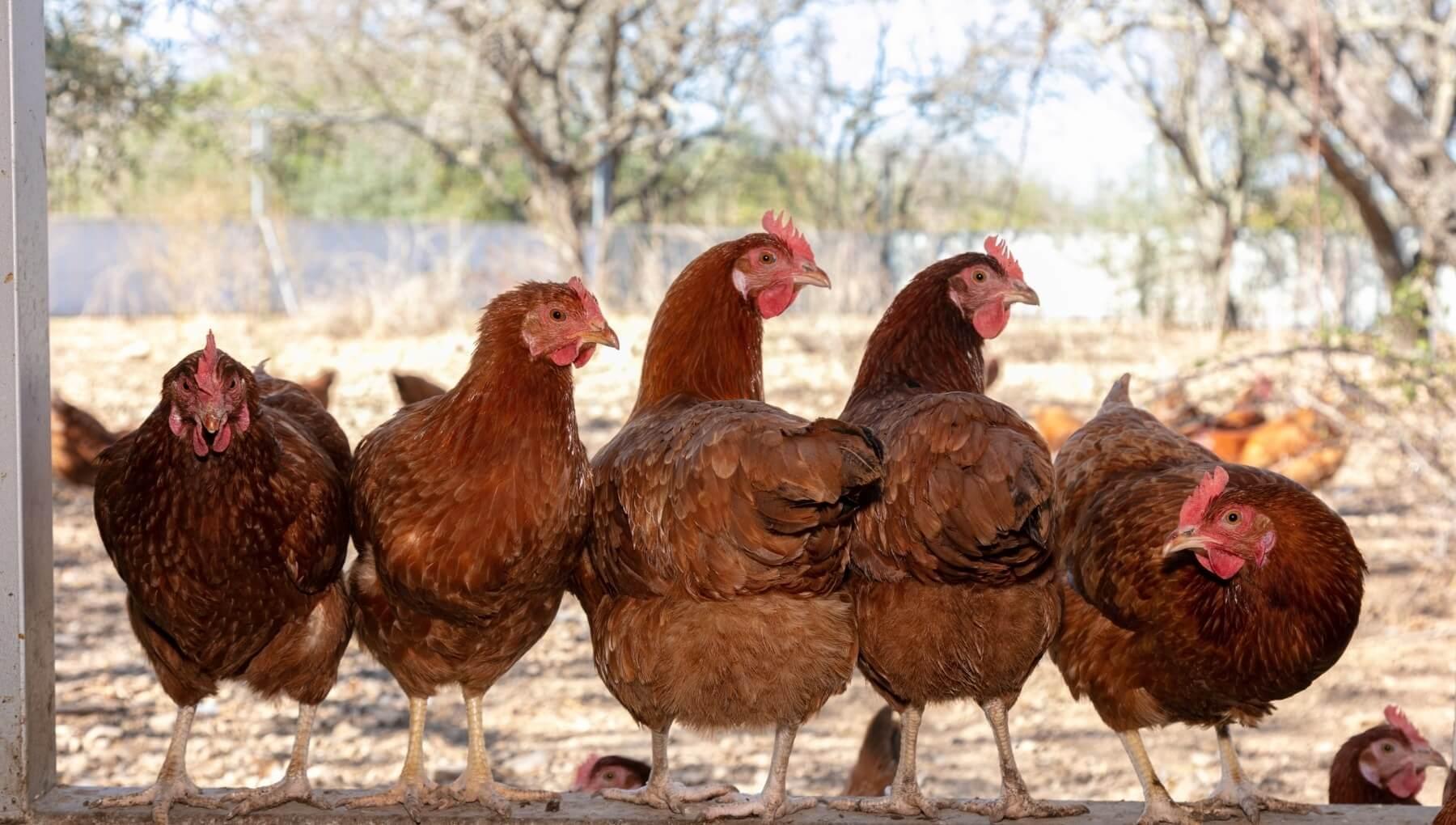 como criar gallinas ponedora