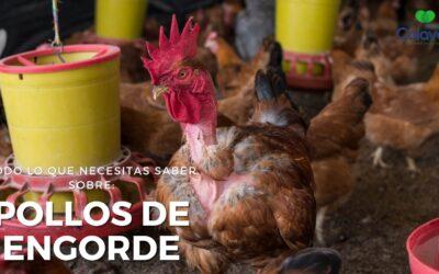 ➤ ¿Cómo Criar Pollos de Engorde? ¡Encuentra aquí la guía más completa!