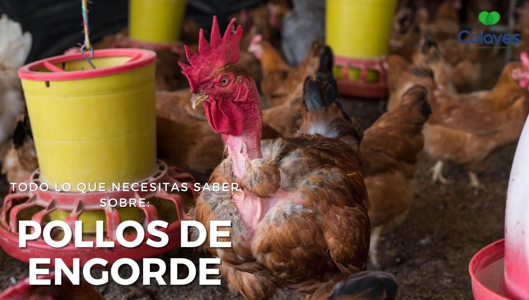 como criar pollos de engorde