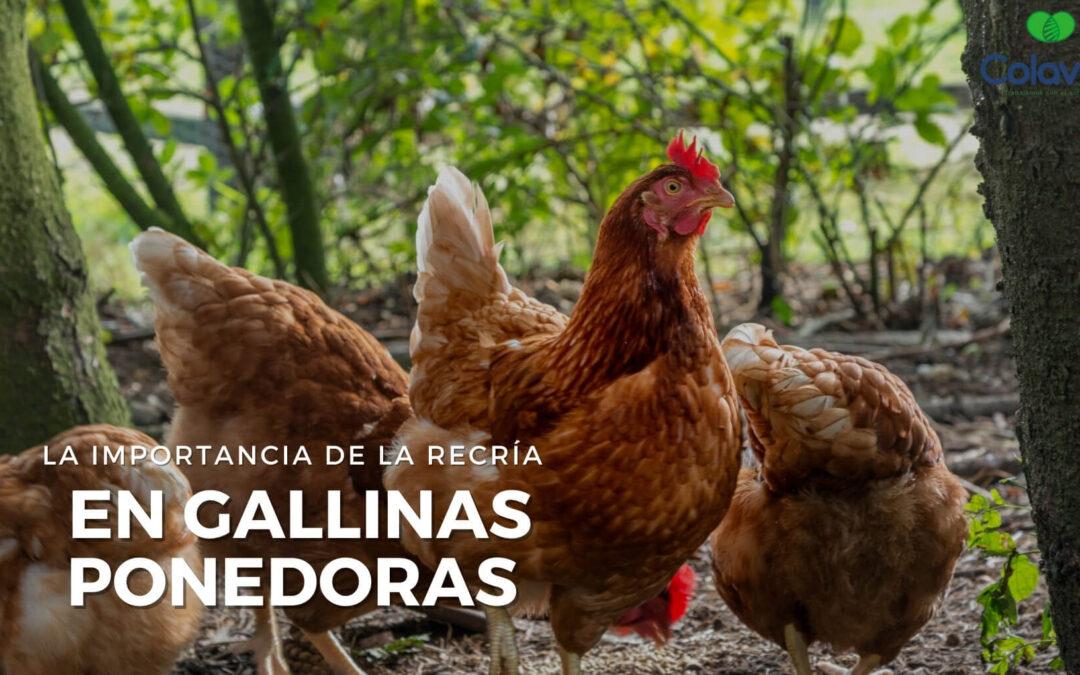 ➤  La Importancia de la Recría en Gallinas Ponedoras