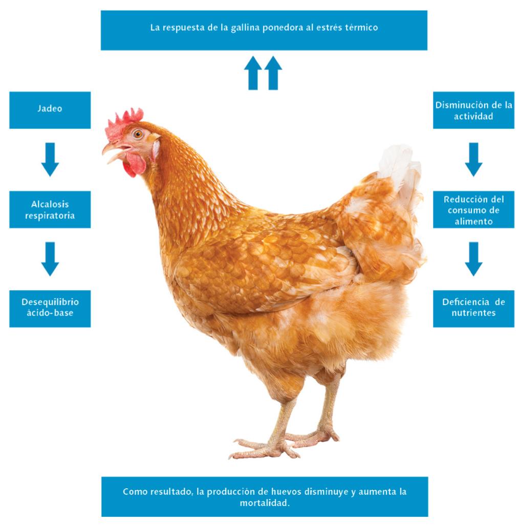 temperatura-en-gallinas-ponedoras